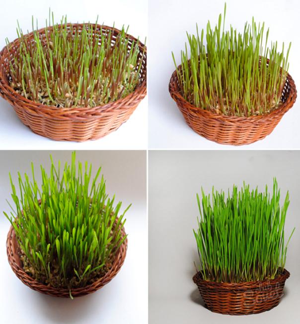 Ինչպես աճեցնել ցորեն Զատիկի համար ...